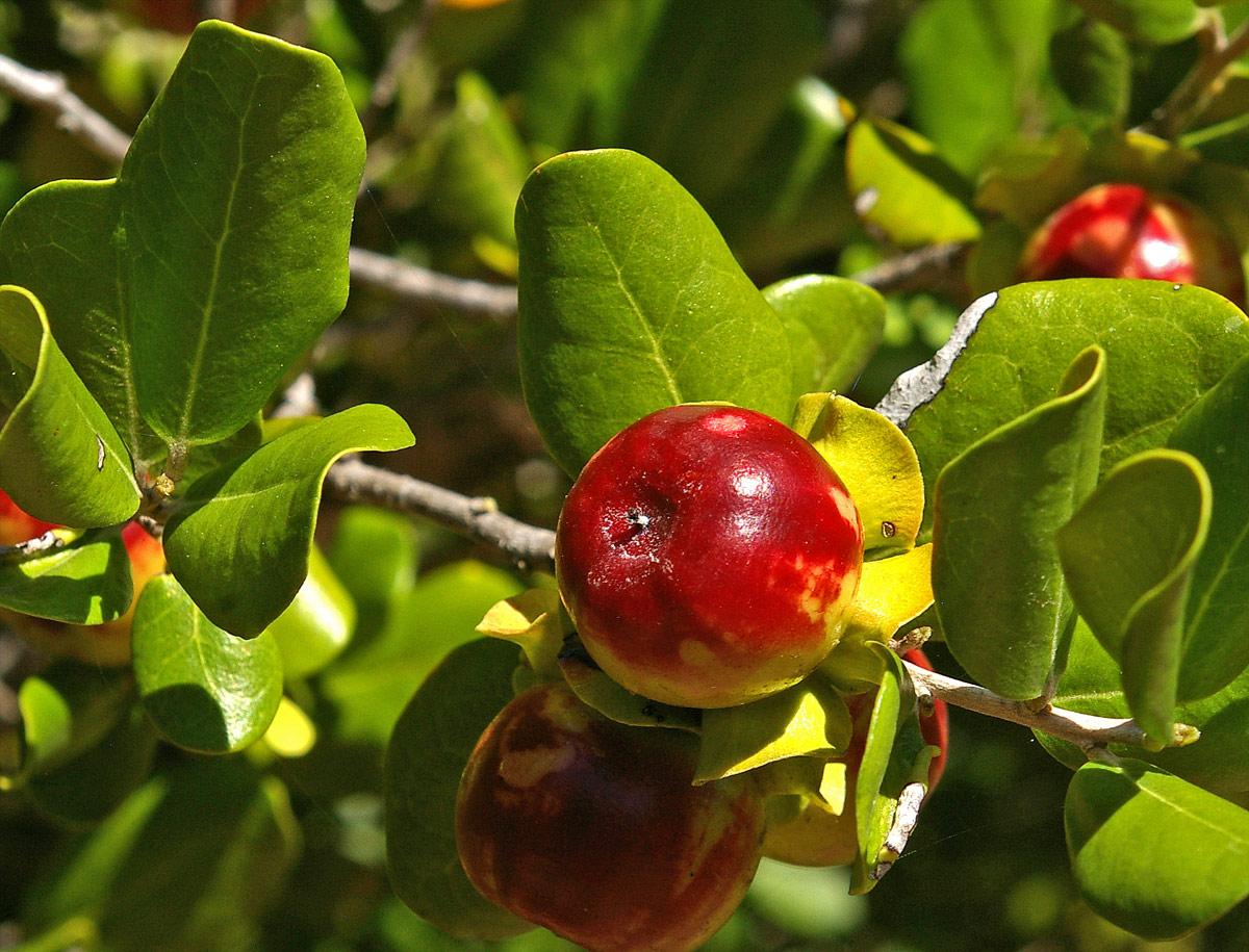 Diospyros rotundifolia