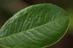 Embelia xylocarpa