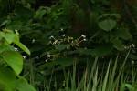 Clerodendrum rotundifolium