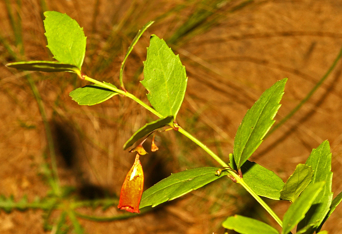 Halleria elliptica