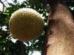 Treculia africana subsp. africana var. africana