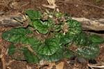 Dorstenia zambesiaca