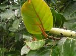 Ficus trichopoda