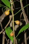 Ficus lingua subsp. depauperata