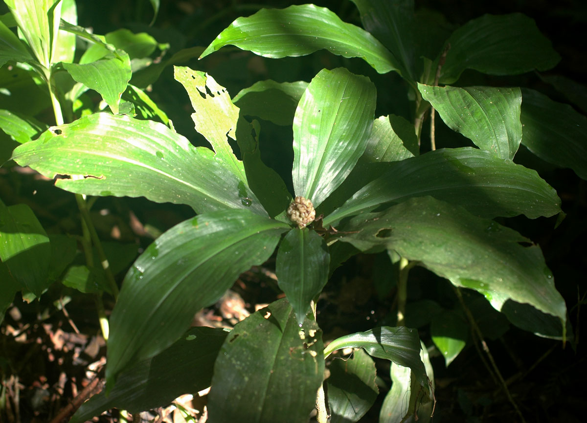 Pollia condensata