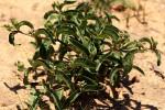 Raphionacme lanceolata