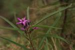 Raphionacme splendens subsp. splendens