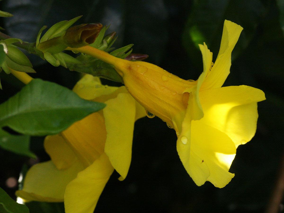 Allamanda cathartica