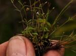 Oldenlandia herbacea