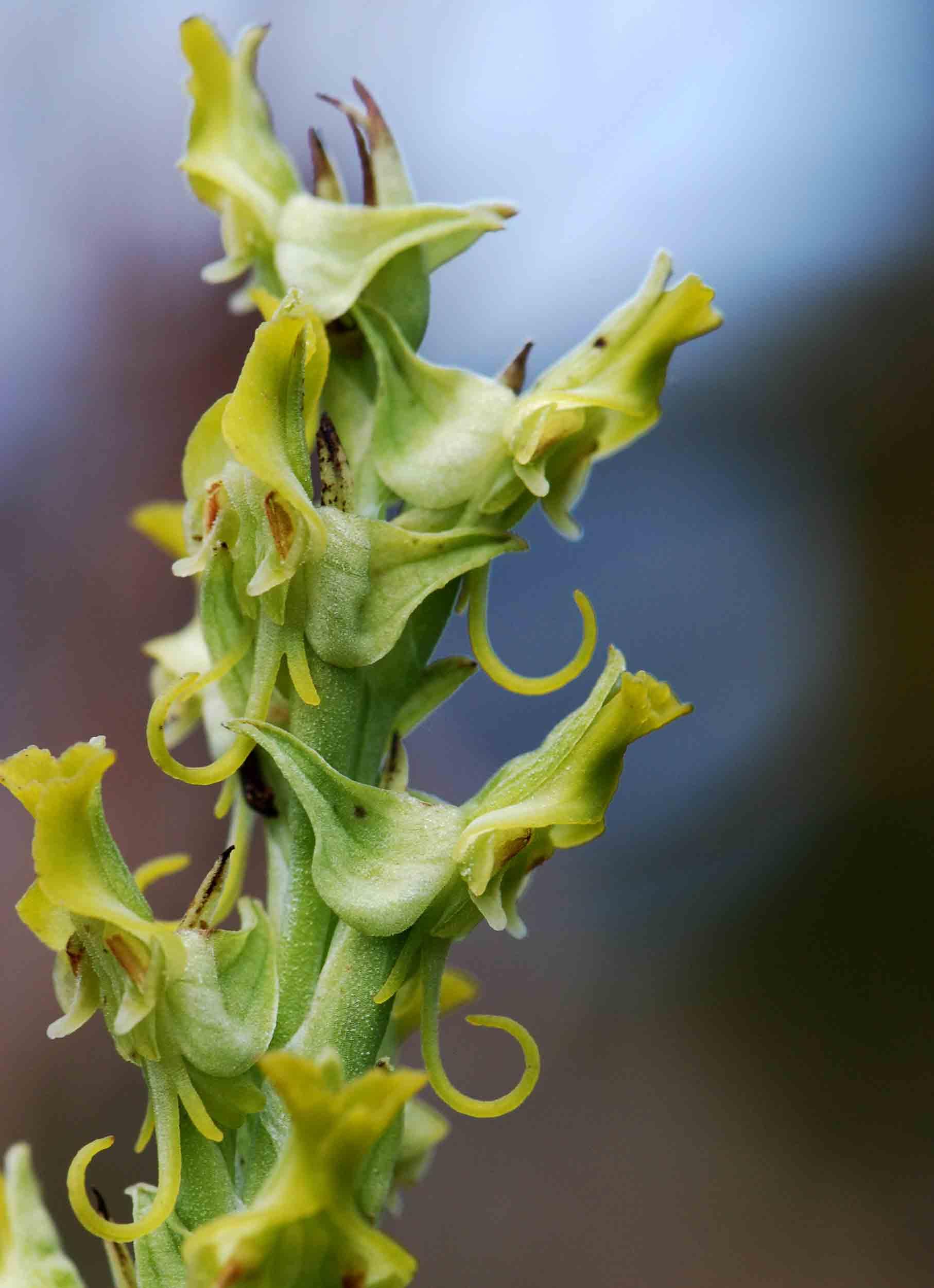 Roeperocharis wentzeliana