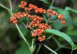 Leea guineensis