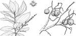 Anisophyllea boehmii