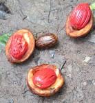 Pycnanthus angolensis subsp. schweinfurthii