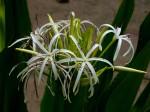 Crinum asiaticum var. pedunculatum