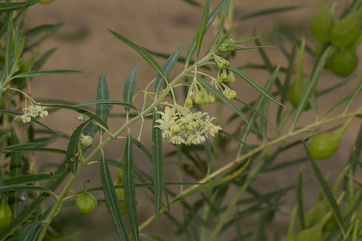 Gomphocarpus fruticosus subsp. rostratus