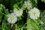 Acacia kraussiana