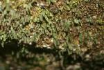 Didymoglossum erosum