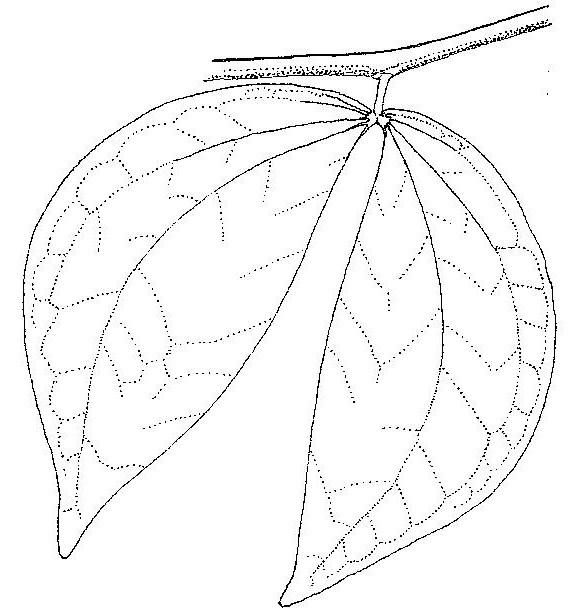 Aphanocalyx richardsiae