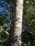 Aphanocalyx trapnellii