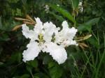 Bauhinia mendoncae