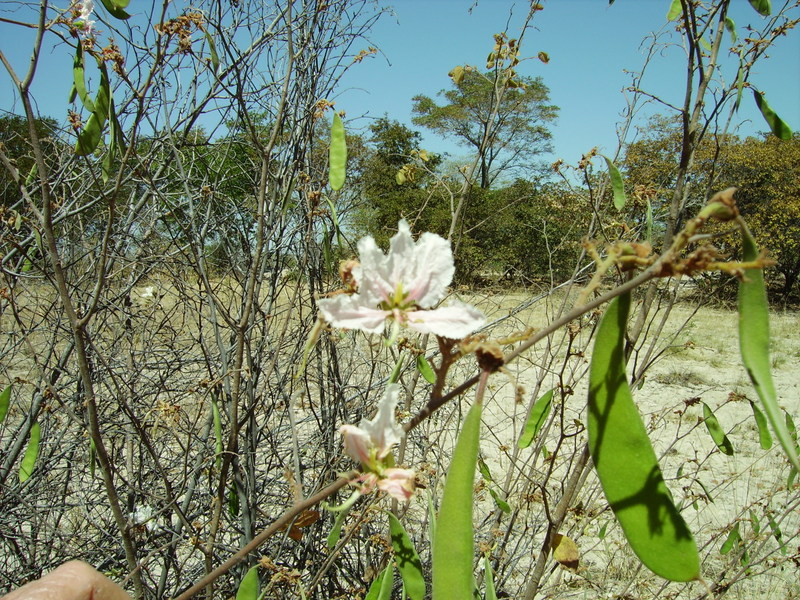 Bauhinia urbaniana