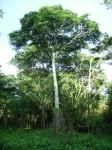 Cryptosepalum exfoliatum subsp. exfoliatum var. fruticosum