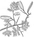 Cryptosepalum exfoliatum subsp. pseudotaxus