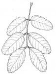 Isoberlinia angolensis var. niembaënsis
