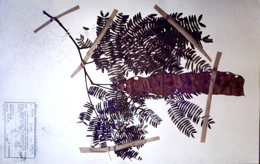 Albizia isenbergiana