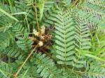Entada arenaria subsp. microcarpa