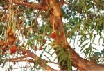 Parkia filicoidea