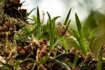 Bulbophyllum rugosibulbum
