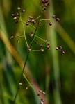 Panicum chionachne