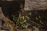 Panicum delicatulum