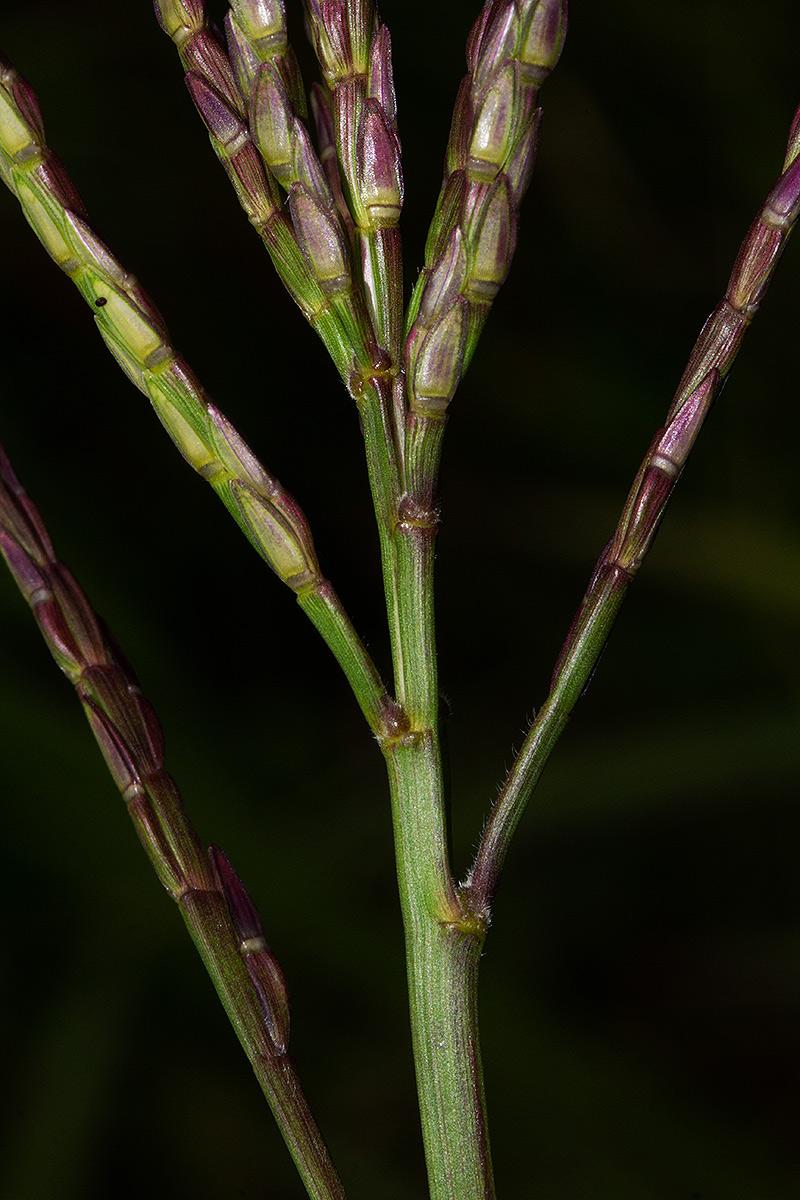Phacelurus huillensis