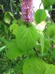 Achyrospermum cryptanthum
