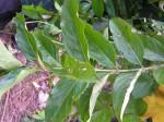 Gaertnera paniculata