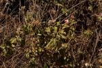 Pentas schimperiana subsp. schimperiana