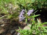 Otiophora caerulea