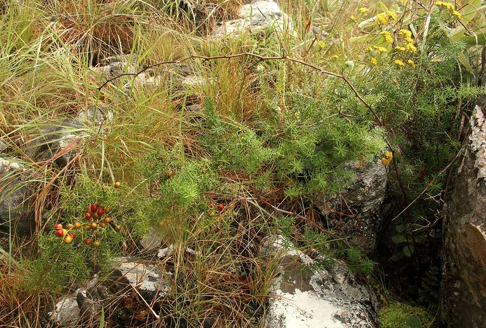 Asparagus chimanimanensis