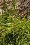 Chlorophytum nyasae