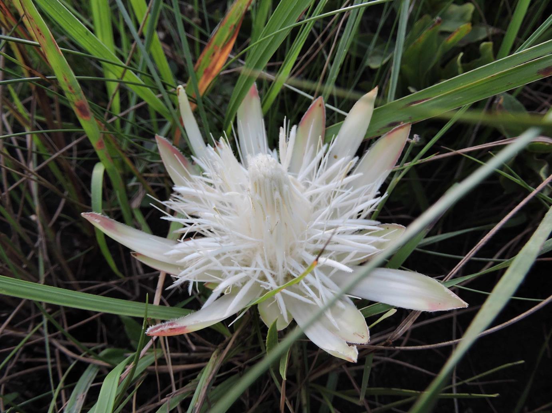 Protea paludosa subsp. secundifolia