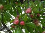 Protea petiolaris subsp. petiolaris