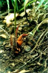 Stylochaeton cuculliferus