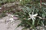 Crinum papillosum