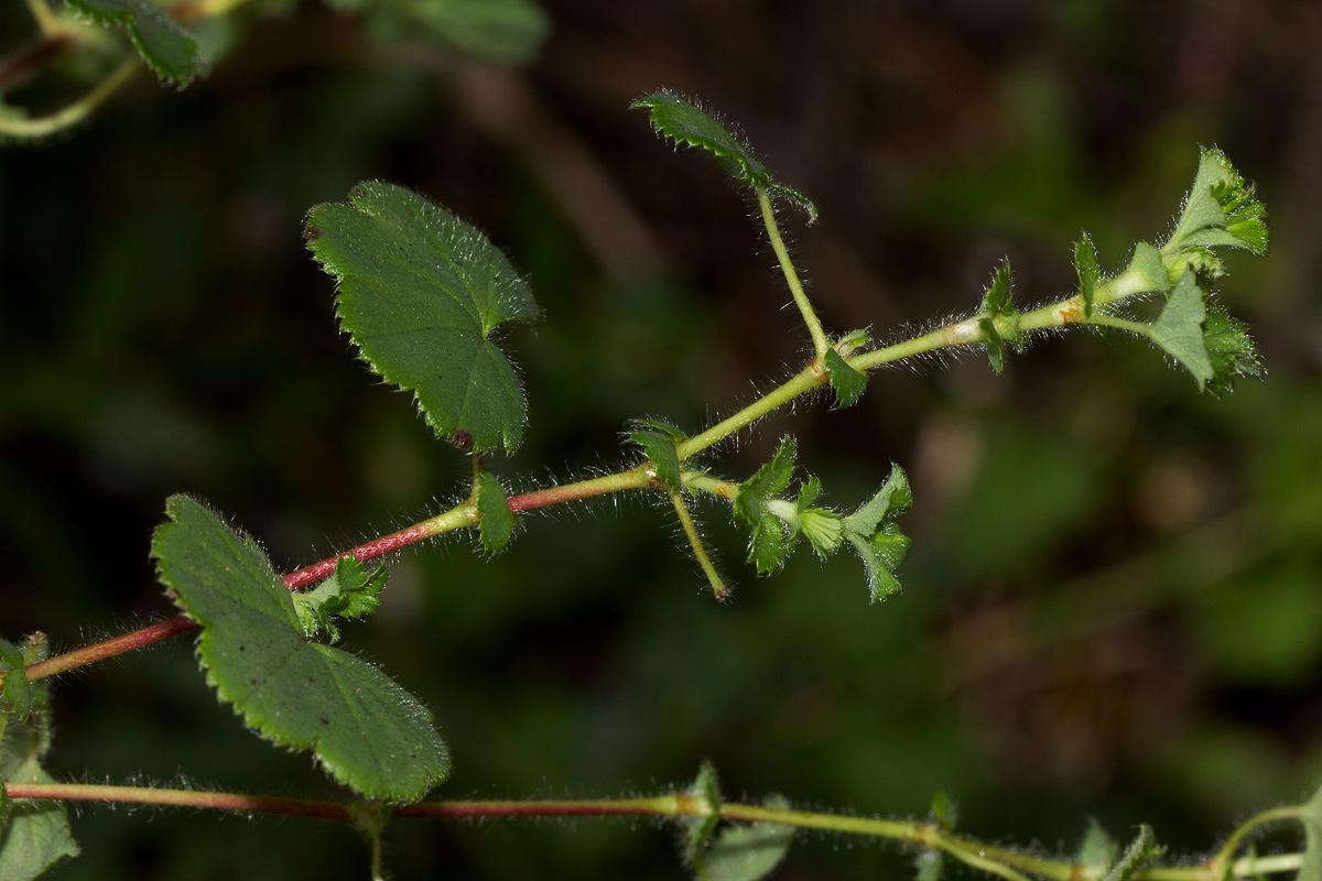 Alchemilla ellenbeckii subsp. nyikensis