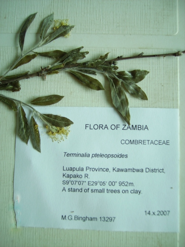 Pteleopsis pteleopsoides