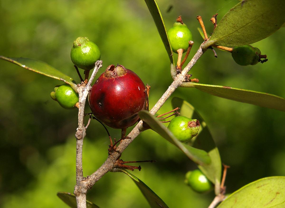 Eugenia capensis subsp. capensis
