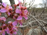 Dichaetanthera erici-rosenii