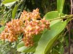 Tetracera alnifolia